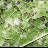 Downy and powdery mildew on the underside of a butternut squash leaf. The dark areas are masses of downy mildew spores produced by the fungus, Pseudoperonospora cubensis. The white powdery spots are masses of powdery mildew spores produced by the fungus Sphaerotheca fuliginea. Note how downy mildew lesions are more angular in shape (bound by leaf veins) whereas powdery mildew tends to spread out radially without regard for leaf veins.